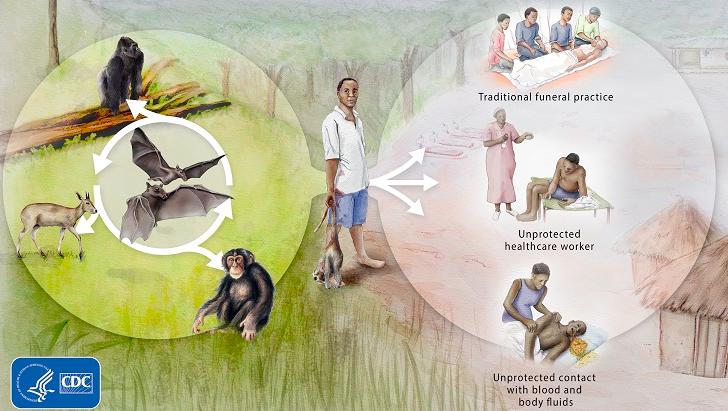 Ciclo - ebola .PNG